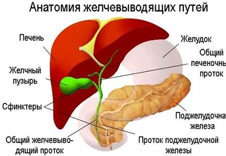 Какую роль играет желчный пузырь в организме человека